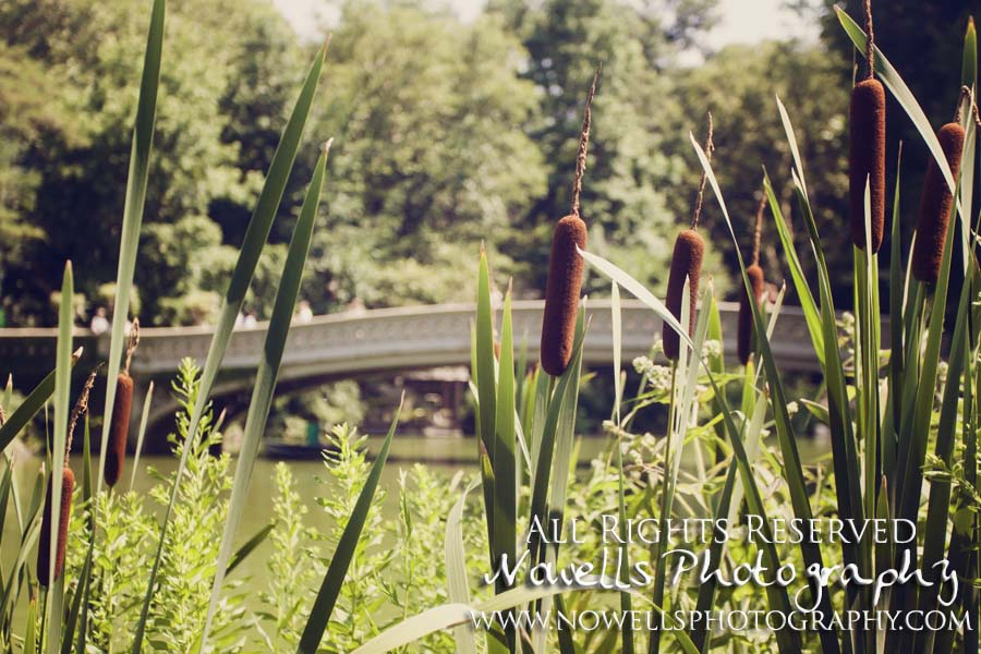 Central Park Cattails Lake Pond Bow Bridge New York, Manhattan, Real New York Tour, Photography by Noelle Wells, Nowells Photography, All Rights Reserved
